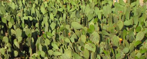 Nopal Powder Capsules (Prickly Pear) High Altitude Mountain Crop